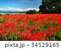 彼岸花 ヒガンバナ 花の写真 34529165