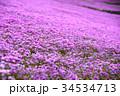 シバザクラ 34534713