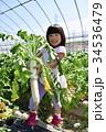 大根 収穫 女の子の写真 34536479
