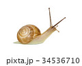 かたつむり カタツムリ 庭の写真 34536710