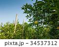 Orange garden with blue sky 34537312