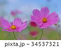 コスモス 34537321