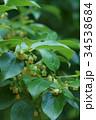 柿 柿の木 カキノキの写真 34538684