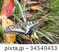 蝶 虫 昆虫の写真 34540433