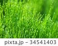 朝露 杉菜 水滴の写真 34541403