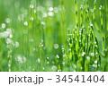 朝露 杉菜 水滴の写真 34541404