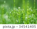 朝露とスギナ 34541405