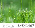 朝露 杉菜 水滴の写真 34541407