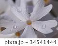 朝露とシバザクラ 34541444