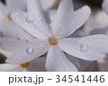 朝露とシバザクラ 34541446