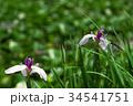 花菖蒲 34541751