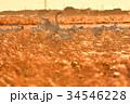 千葉県東庄の白鳥 34546228