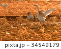 千葉県東庄の白鳥 34549179