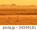 千葉県東庄の白鳥 34549181