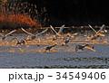 東庄 白鳥 鳥の写真 34549406