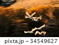 白鳥 鳥 野鳥の写真 34549627