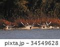 東庄 白鳥 鳥の写真 34549628