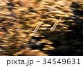白鳥 鳥 野鳥の写真 34549631