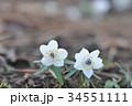 節分草 キンポウゲ科 花の写真 34551111