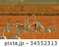 東庄 白鳥 鳥の写真 34552313