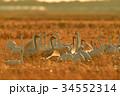 東庄 白鳥 鳥の写真 34552314