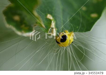 生き物 昆虫 シンジュキノカワガ、シンジュ(ニワウルシ)が食草。終齢幼虫の顔は垂れ耳の子犬みたい? 34553479