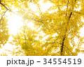 秋のイメージ:イチョウ 34554519
