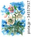花 クリスマスローズ ヘレボラスのイラスト 34557917