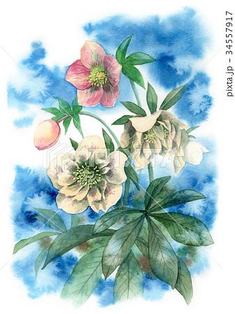 水彩で描いたクリスマスローズ 34557917