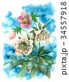 花 クリスマスローズ ヘレボラスのイラスト 34557918