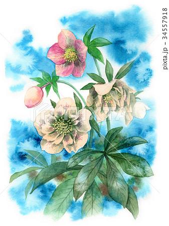 水彩で描いたクリスマスローズ 34557918