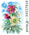花 クリスマスローズ ヘレボラスのイラスト 34557919