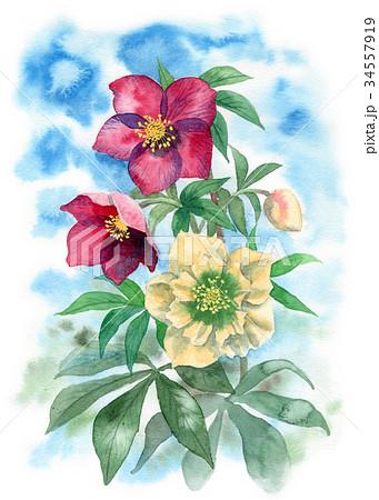 水彩で描いたクリスマスローズ 34557919