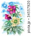 花 クリスマスローズ ヘレボラスのイラスト 34557920