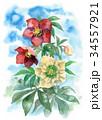花 クリスマスローズ ヘレボラスのイラスト 34557921