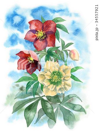 水彩で描いたクリスマスローズ 34557921