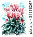 シクラメン 花 植物のイラスト 34558267