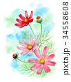 つぼみ 花 秋桜のイラスト 34558608
