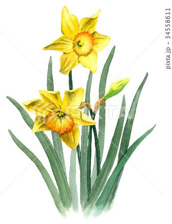 水彩で描いた黄ズイセン 34558611