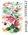 つぼみ 秋明菊 花のイラスト 34558612