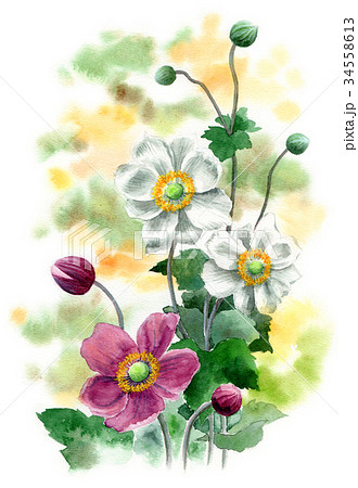 水彩で描いたシュウメイギク 34558613