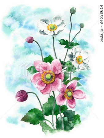 水彩で描いたシュウメイギク 34558614
