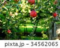 林檎 りんご 果物の写真 34562065