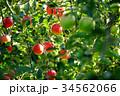 林檎 りんご 果物の写真 34562066
