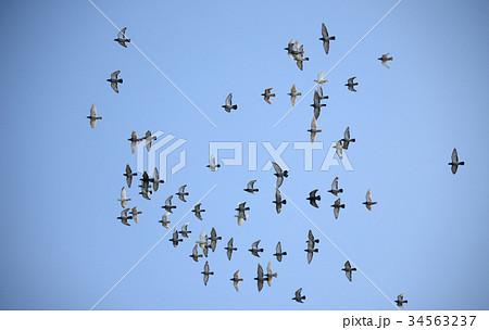 旋回する鳩の群れ 飛翔 鳩 ハト はと 鳥 飛ぶ 群れ 青空 旋回 たくさん 山 森 快晴 34563237