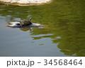 ミドリガメ アカミミガメ 亀の写真 34568464