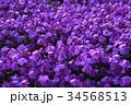 シバザクラ 34568513