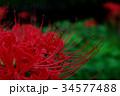 小雨降る夕闇 妖しく咲き乱れる彼岸花 c-2 34577488
