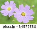 ピンク色のコスモス 34579538