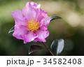山茶花 34582408